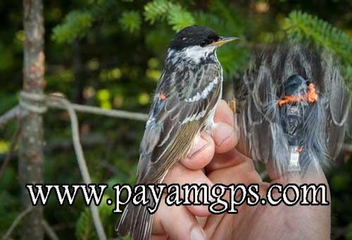 ردیاب برای پرندگان آوازخوان و کمیاب
