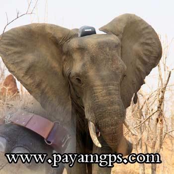نجات فیل ها در سودان توسط ردیاب